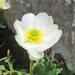 Ranunculaceae > Ranunculus alpestris - Renoncule alpestre