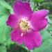 Rosaceae > Rosa alpina - Rosier des alpes