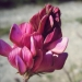 Fabaceae > Onobrychis viciifolia - Sainfoin