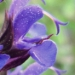 Lamiaceae > Salvia nemorosa - Sauge des bois