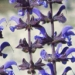 Lamiaceae > Salvia pratensis - Sauge des prés