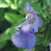 Lamiaceae > Salvia officinalis - Sauge officinale