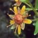 Saxifragaceae > Saxifraga aizoides - Saxifrage faux aïzoon