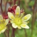 Saxifragaceae > Saxifraga moschata - Saxifrage musquée