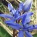 Liliaceae > Scilla bifolia - Scille à deux feuilles
