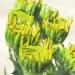 Asteraceae > Jacobaea × reisachii - Séneçon hybride