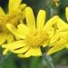Asteraceae > Senecio doronicum - Séneçon doronic