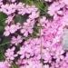 Caryophyllaceae > Silene acaulis - Silène acaule