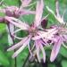 Caryophyllaceae > Lychnis flos-cuculi - Silène fleur de coucou