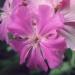 Caryophyllaceae > Lychnis flos-jovis - Silène fleur de Jupiter