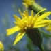 Asteraceae > Solidago virgaurea - Solidage verge d'or