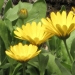 Asteraceae > Calendula officinalis - Souci officinal