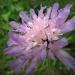 Dipsacaceae > Knautia dipsacifolia - Knautie à feuilles de cardère