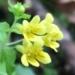 Orobanchaceae > Tozzia alpina - Tozzie des alpes