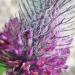 Fabaceae > Trifolium rubens - Trèfle rougeâtre
