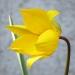 Liliaceae > Tulipa sylvestris - Tulipe des bois