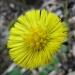 Asteraceae > Tussilago farfara - Tussilage