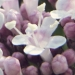 Valerianaceae > Valeriana officinalis - Valériane officinale