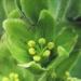 Melanthiaceae > Veratrum album - Vérâtre blanc