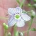 Plantaginaceae > Veronica urticifolia - Véronique à feuilles d'ortie