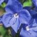 Plantaginaceae > Veronica austriaca - Véronique d'Autriche