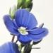 Plantaginaceae > Veronica chamaedrys - Véronique petit-chêne