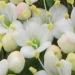 Adoxaceae > Viburnum lantana - Viorne lantane