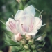 Boraginaceae > Echium vulgare f. albiflorum - Vipérine blanche