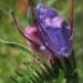 Boraginaceae > Echium vulgare - Vipérine